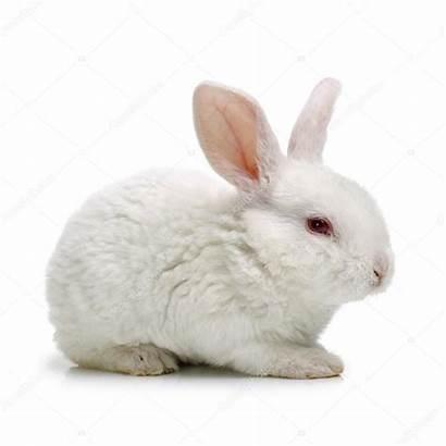 Rabbit Konijn Witte Schattige Stockafbeelding Jianghongyan Depositphotos