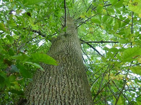 Define Ash the meaning and symbolism of the word ash tree