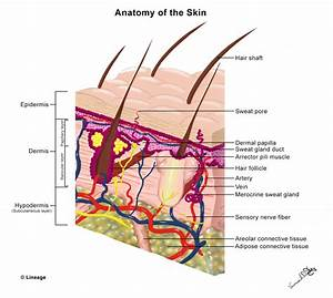 parts of eyelid skin anatomy and wound healing dermatology medbullets