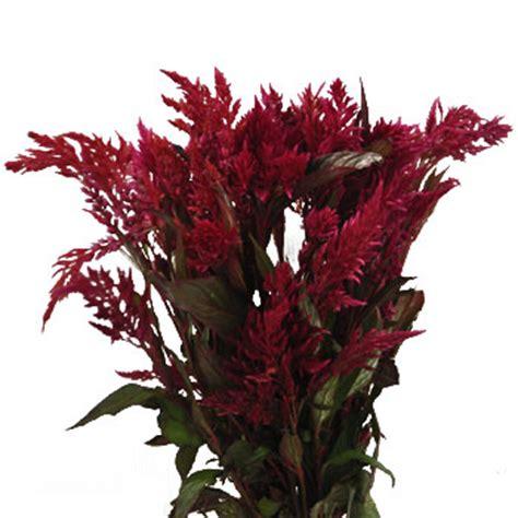 raspberry burgundy feather celosia