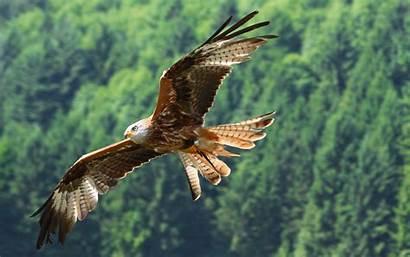 Hawk Animal Desktop Backgrounds Computer