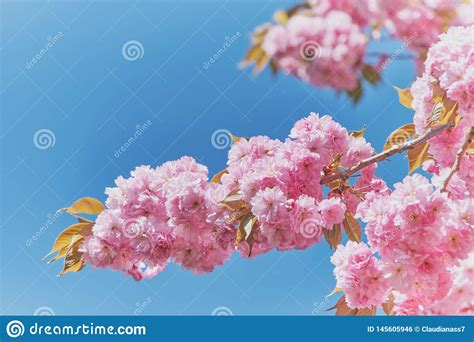 Close Up On A Branch Of Japanese Cherry Blossoms Stock
