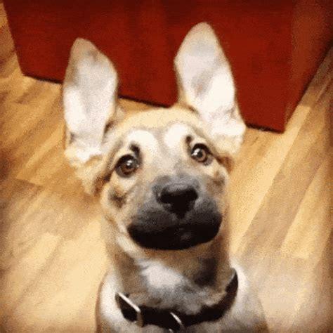 dog watching  animated gif speakgif