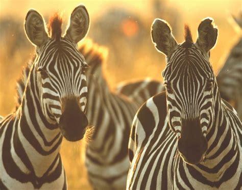 stripes zebras zebra fur versa vice background