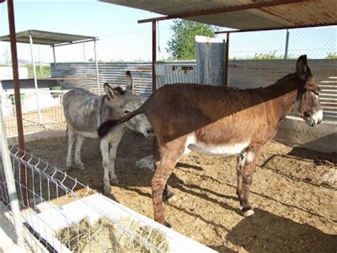 burro apareandose  una yegua caballo cogiendo  yegua