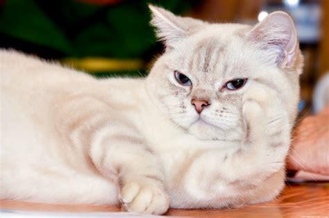 cat breeds domestic cats largest ragamuffin cuddling petguide rare around guide worldatlas