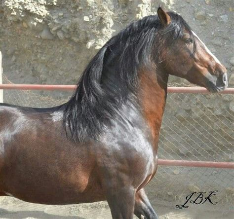 horses horse breeds andalusian lipizzan friesian alter types dogs pretty
