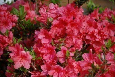 indoor plants low maintenance learn how to grow and care for azaleas