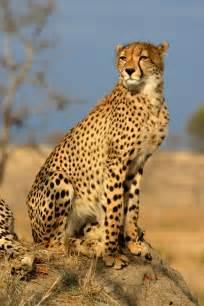 cheetah cats predator november 2009