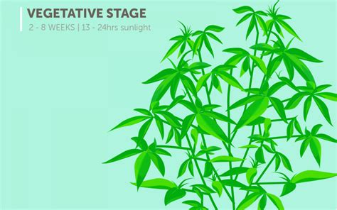 The Stages Of Cannabis Plant Growth  Marijuana News And Updates