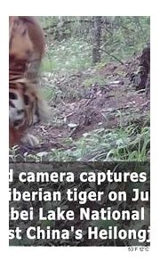 Wild Siberian tiger's activity captured in video clips in ...