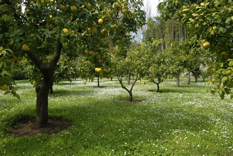 citronnier planter et entretenir ooreka