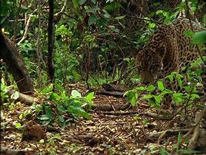 Pics For > Predation Examples In The Tropical Rainforest