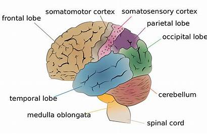 Brain Wikipedia Functional Specialization Cerebrum Lobes Wiki