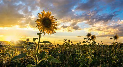 sonnenblumen im sonnenuntergang meissenheim badische