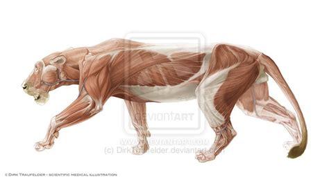 images  anatomy animal felidae  pinterest