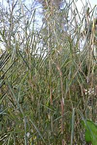 Bambus Im Winter : pflanztips bambuspflege bambus wissen ~ Frokenaadalensverden.com Haus und Dekorationen