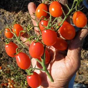 Grape Tomato - Our Plants - Kaw Valley Greenhouses