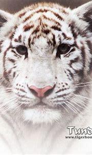 White Tiger - Big Cats Wallpaper (31052224) - Fanpop
