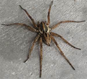 Wolf Spider (Gainesville, Fl) - Hogna - BugGuide.Net