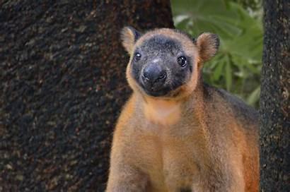 Tree Volunteer Habitat Kangaroo Kangaroos Lumholtz Animals