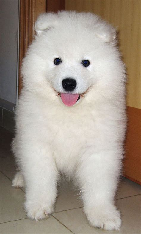 Best 25 Siberian Samoyed Ideas On Pinterest Samoyed Dog