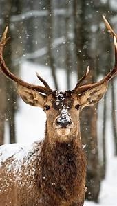 Deer, Phone, Wallpaper