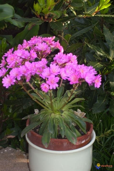 plante grasse fleur photo plante grasse fleurit en avril