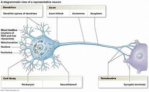 Diagram nuron labeled | A&P | Pinterest | Neurons