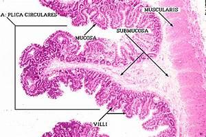 Jejunum Histology Labeled | www.pixshark.com - Images ...