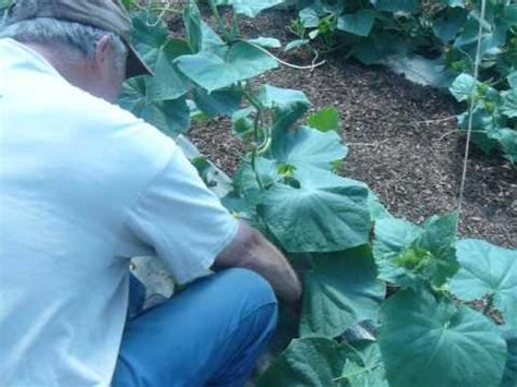 Training Cucumbers To Grow Up Strings Youtube