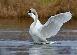 File:Trumpeter Swan - natures pics.jpg - Wikimedia Commons