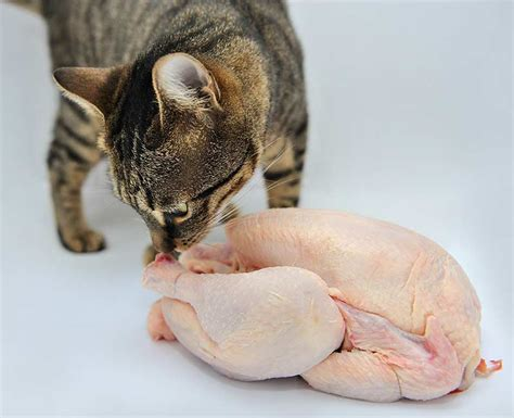 Raw diet for cats
