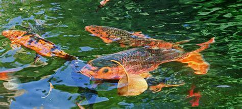 carpe koi dans aquarium pourquoi les carpes koi sautent hors de l eau 187 jardins aquatiques