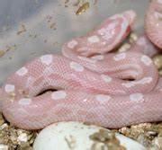 Snow Motley Corn Snake