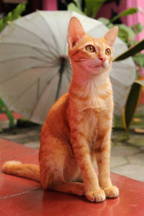 รูปภาพ : ลูกแมว, จมูก, เครา, สัตว์มีกระดูกสันหลัง, แมวขนาด ...