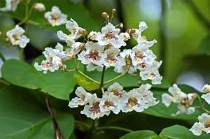 Catalpa Bignonioides Nana Pflege : trompetenbaum catalpa bignonioides gartenzauber ~ Lizthompson.info Haus und Dekorationen