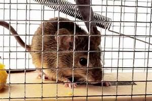 Comment Se Debarrasser Des Rats : comment se d barrasser des rats dans votre maison et yard meurtre contre le repoussement ~ Melissatoandfro.com Idées de Décoration