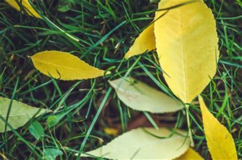 Kirschlorbeer Krankheiten Gelbe Blätter by Der Kirschlorbeer Hat Gelbe Bl 228 Tter 187 Woran Kann S Liegen