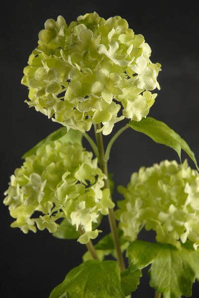 green viburnum branch   flowers