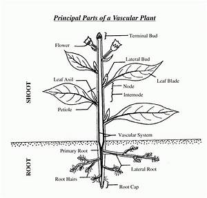 Principal Parts Of A Vascular Plant
