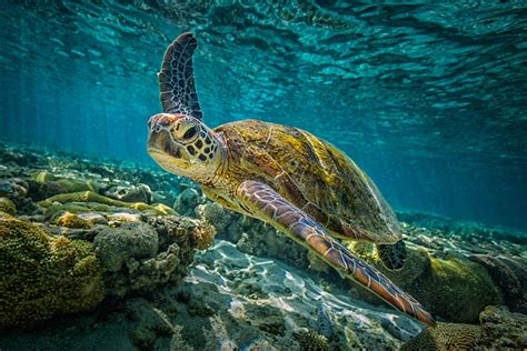Turtle Images This Population Of Green Sea Turtles Is Nearly All