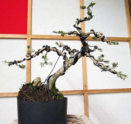 bonsai formen mit draht bonsai beeindruckend bonsai formen mit draht beabsichtigt gestaltung einer nestfichte picea
