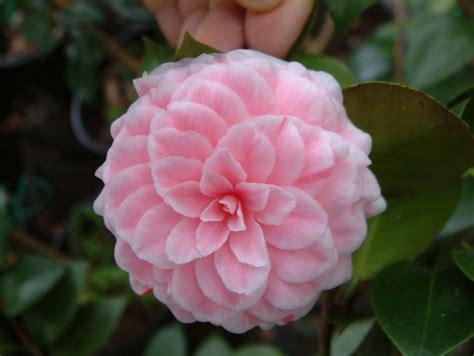 camellia japonica tom thumb camellias