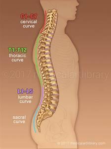 Spine Anatomy Curves