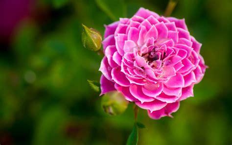 nature flower garden rose pink hd wallpaper wallpaper