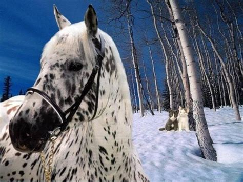 horses images appaloosa beauty hd wallpaper  background