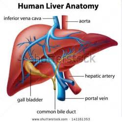Human Anatomy Liver Diagram