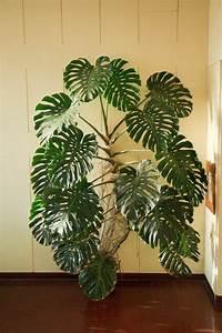 Zimmerpflanzen Pflege Tipps : 480 besten pflanzen bilder auf pinterest balkonk sten ~ Lizthompson.info Haus und Dekorationen