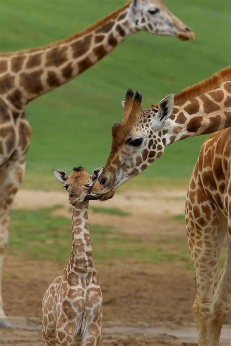 april  giraffe  birth facts